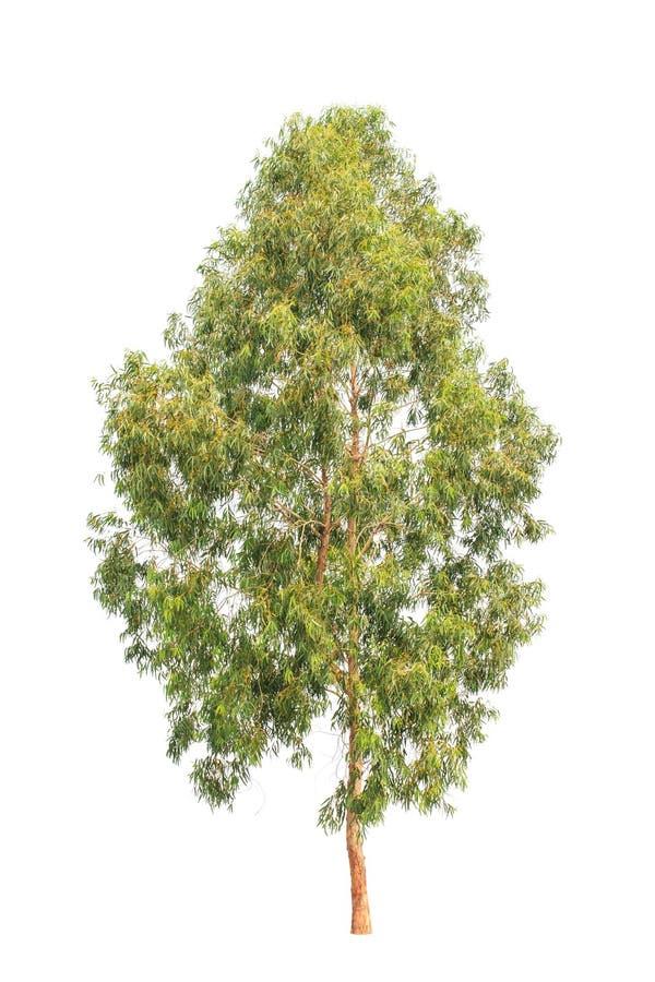 Arbre d'eucalyptus, arbre tropical d'isolement sur le blanc photographie stock libre de droits