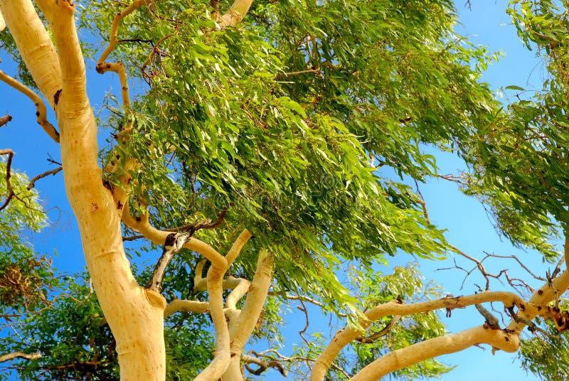 arbre d 39 eucalyptus australien photographie stock libre de. Black Bedroom Furniture Sets. Home Design Ideas