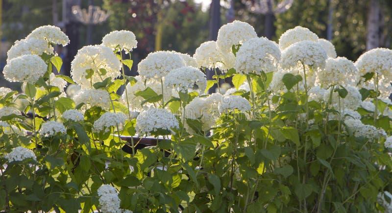 Arbre d'hortensia, blanc Bush fleurissant sur un fond vert image stock