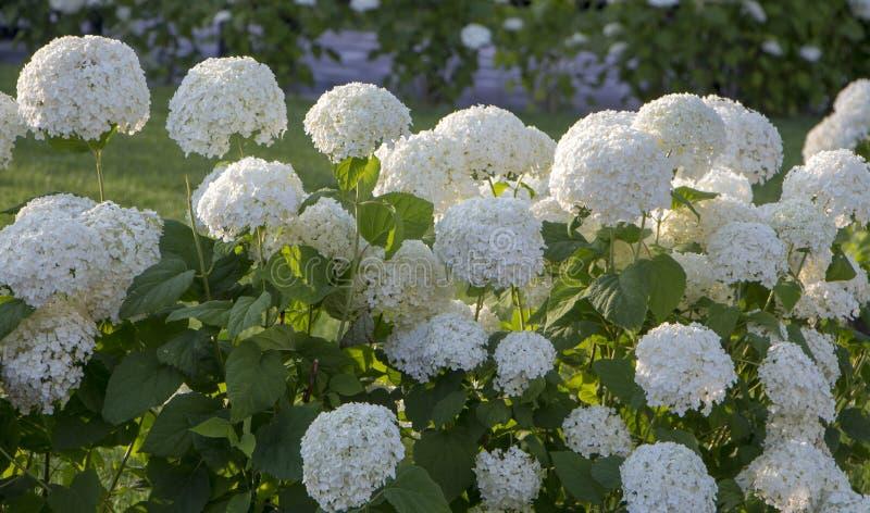 Arbre d'hortensia, blanc Bush fleurissant sur un fond vert photo libre de droits