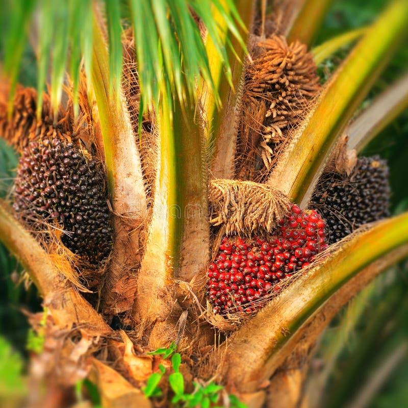 Arbre d'huile de palme images libres de droits
