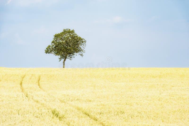 Arbre d'isolement dans un domaine de maïs image stock