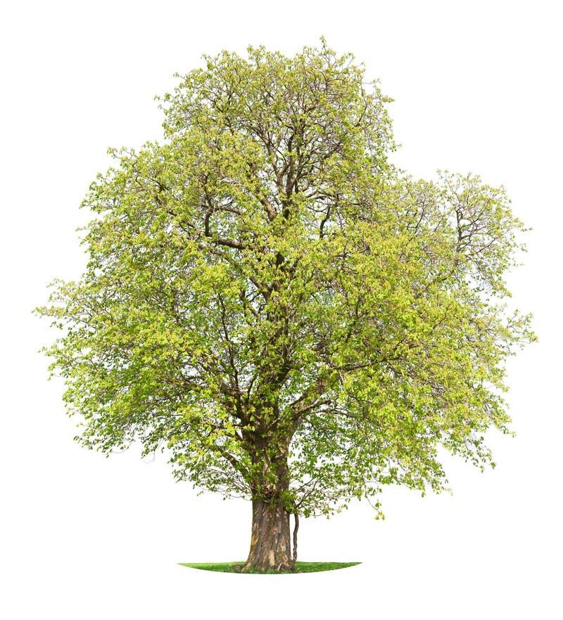 arbre d'isolement par cheval de châtaigne image stock