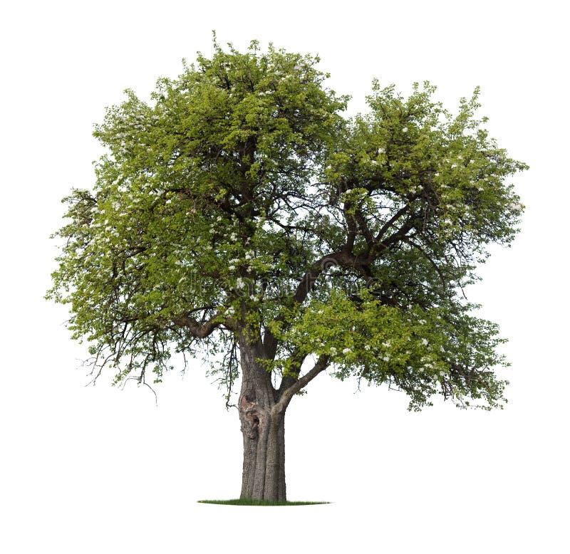arbre d'isolement par pomme photographie stock
