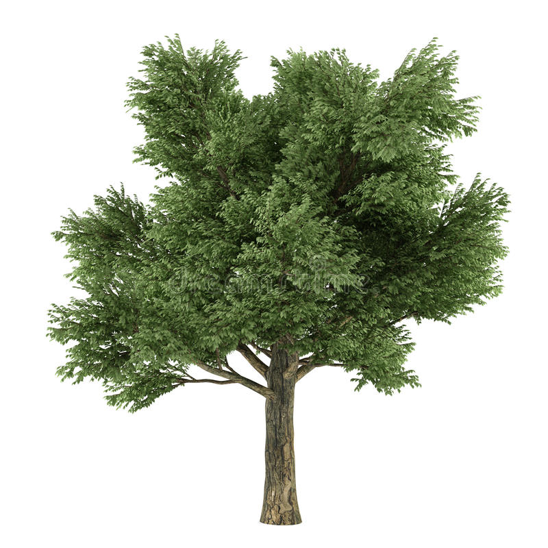 Arbre d'isolement. Quercus illustration stock