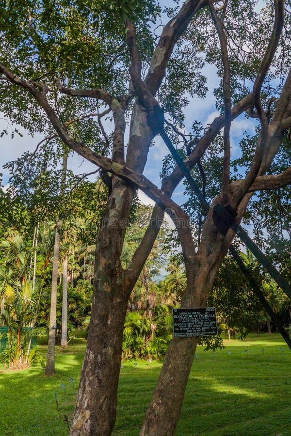 Arbre d'officinale de Guaiacum dans les jardins botaniques royaux de Peradeniya près de Kandy, Sri Lanka Cet arbre en bois o est  image libre de droits