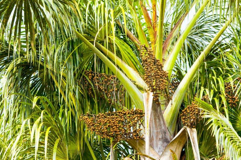 Arbre d'Oleracea d'euterpe avec des graines image libre de droits