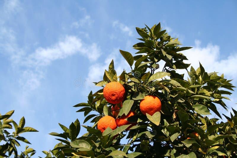 Arbre d'oranges images libres de droits