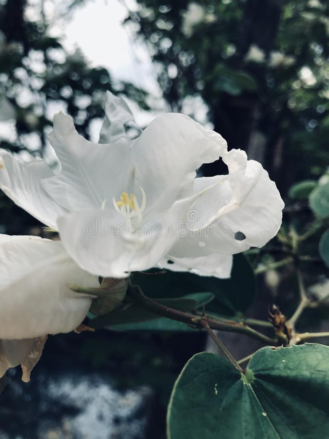 Arbre d'orchid?e blanc photos stock