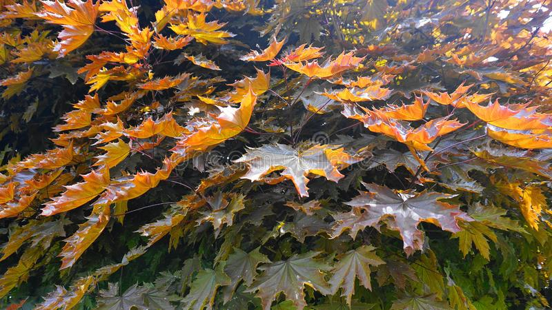 Arbre d'?rable rouge avec de grandes et lumineuses feuilles dans la fin du soleil de matin  Rubrum d'Acer, l'?rable rouge, ?galem photographie stock libre de droits
