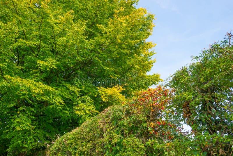 Arbre dans des couleurs d'automne dans un pré au soleil à la chute images libres de droits