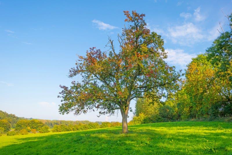 Arbre dans des couleurs d'automne dans un pré au soleil à la chute images stock