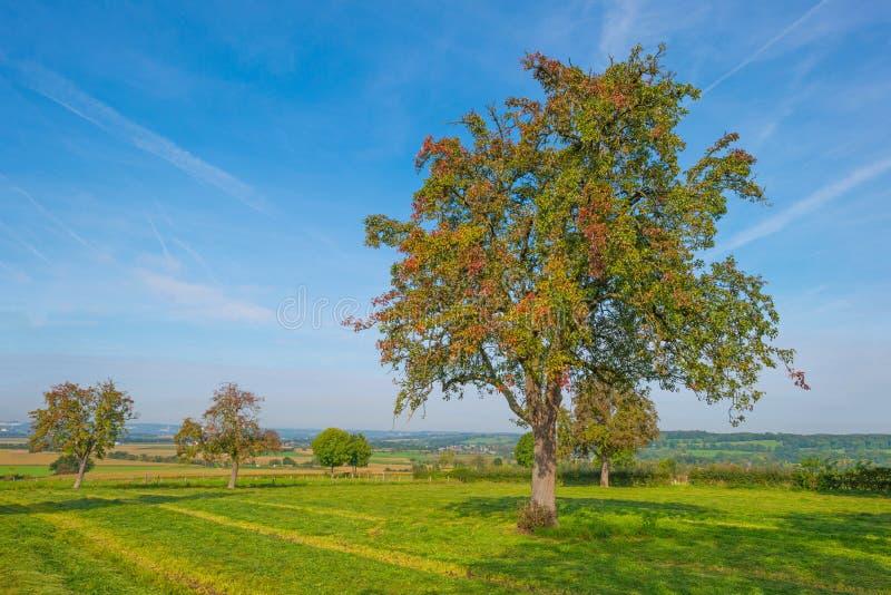 Arbre dans des couleurs d'automne dans un pré au soleil à la chute photographie stock libre de droits
