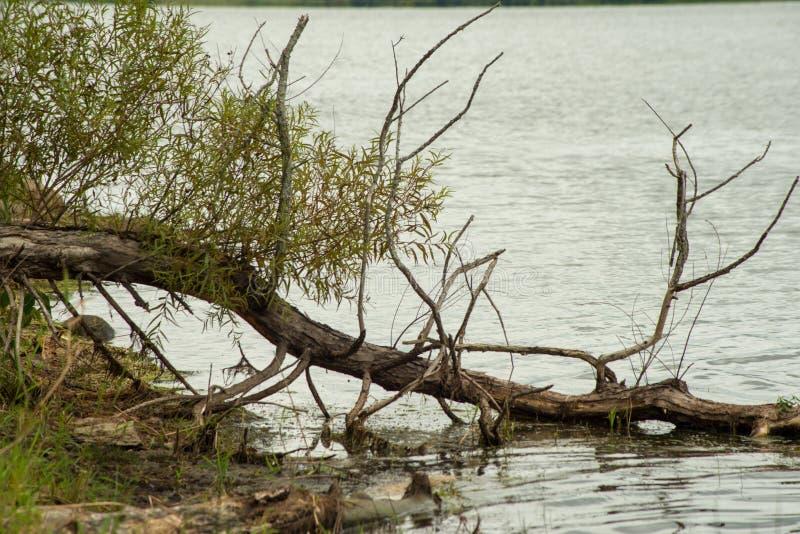 Arbre dans l'eau le long de l'au bord du lac photo stock