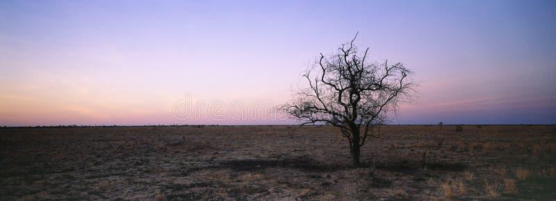 Arbre dans l'horizontal aride photos libres de droits