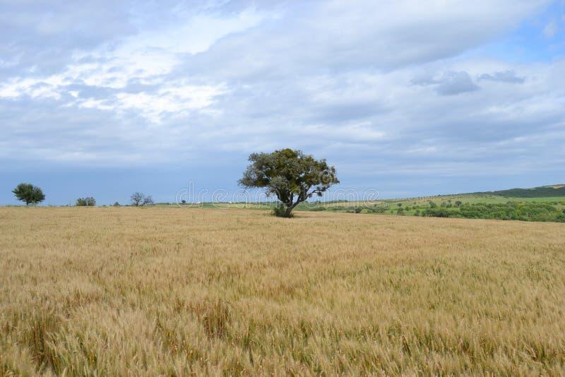 Arbre dans le domaine de blé photographie stock