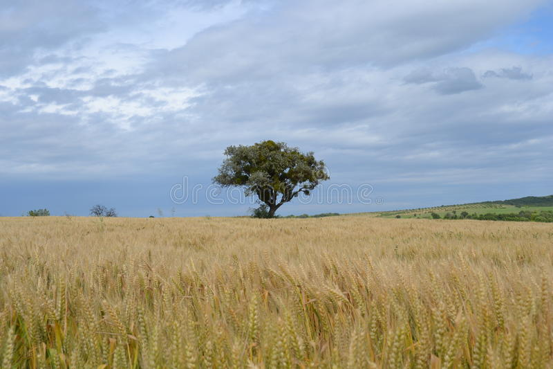 Arbre dans le domaine de blé image stock