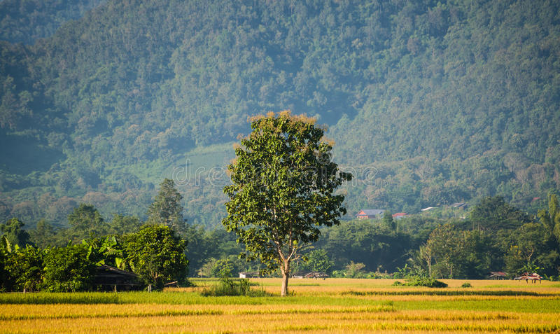 Arbre dans le domaine vert de riz image stock