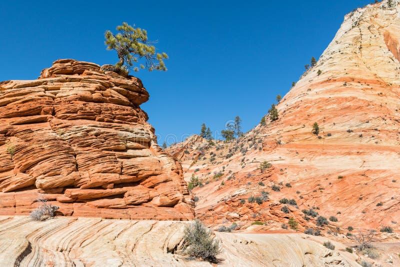 Arbre dans le grès, Zion National Park, Utah image libre de droits