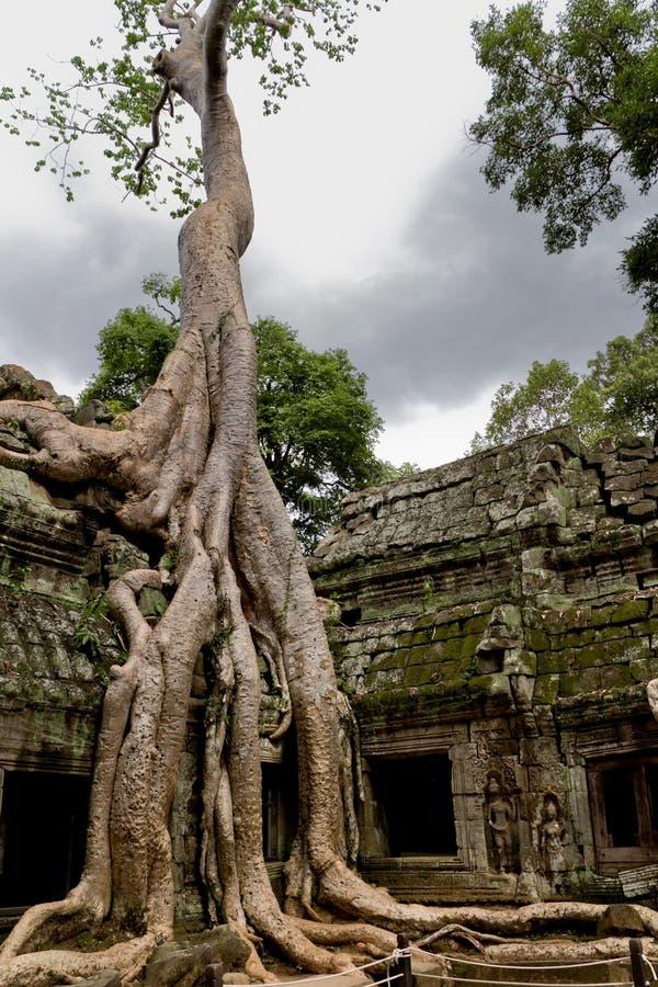 Arbre dans Ta Prohm, Cambodge photographie stock