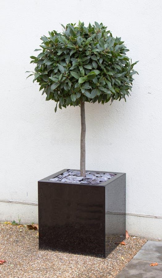 arbre de baie dans le pot de cube photo stock image du botanique lame 42217498. Black Bedroom Furniture Sets. Home Design Ideas