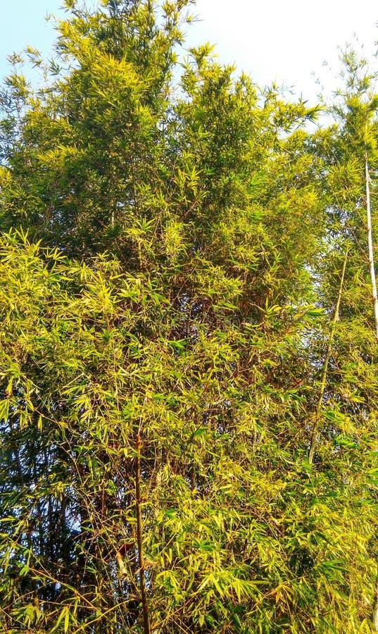 Arbre de bambou photographie stock