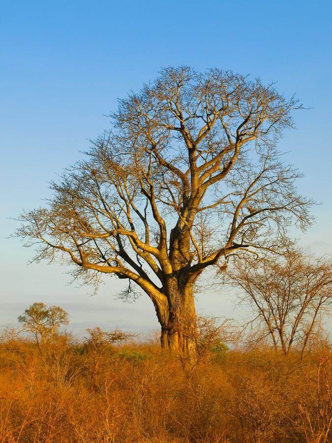 Arbre de Baoba photos stock
