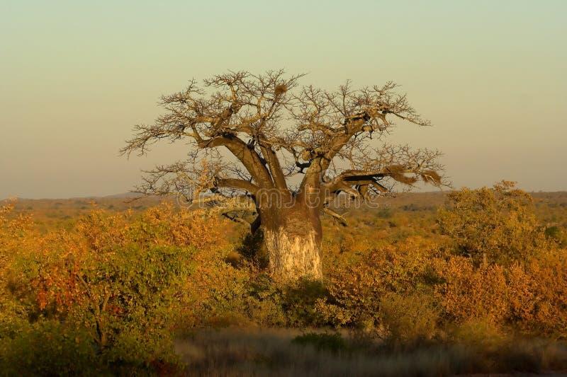Arbre de baobab photographie stock