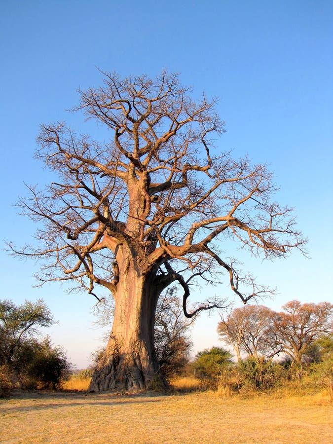 Arbre de baobab photographie stock libre de droits