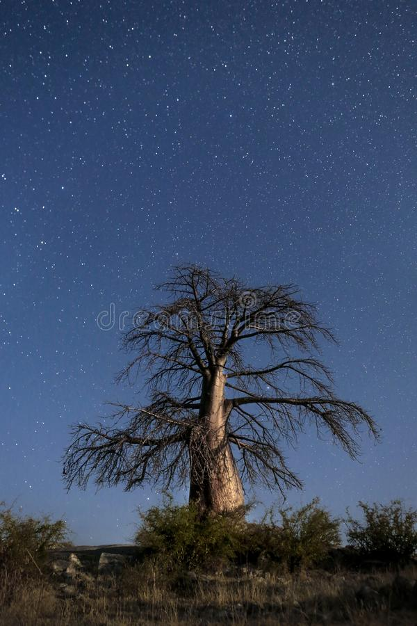 Arbre de baobab sous des étoiles photos libres de droits