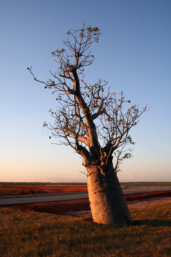 Arbre de Boab au coucher du soleil photographie stock