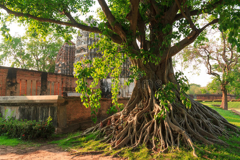 Arbre de Bodhi photographie stock
