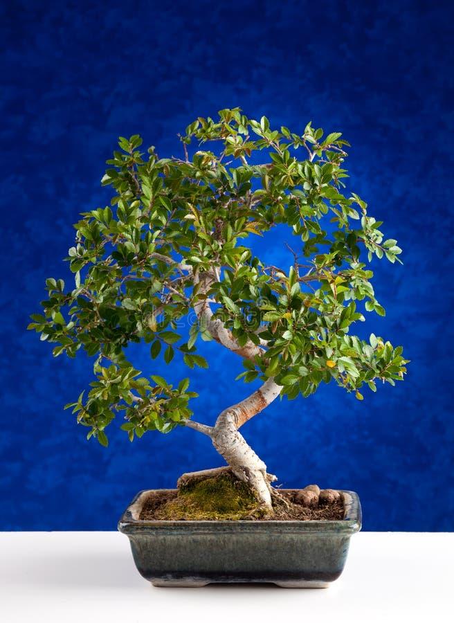 Arbre de bonsaïs images stock