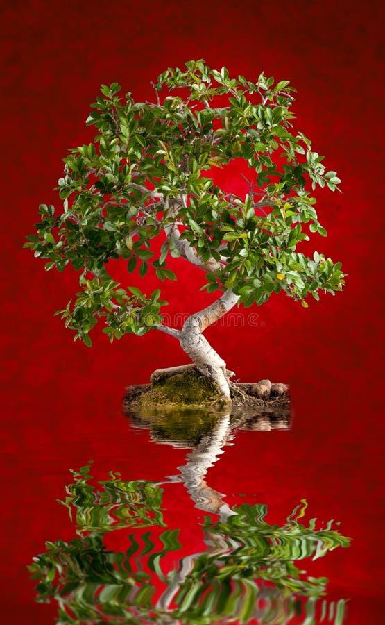 Arbre de bonsaïs image stock