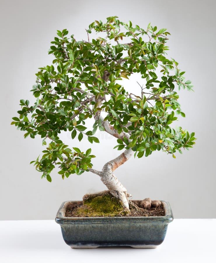 Arbre de bonsaïs images libres de droits