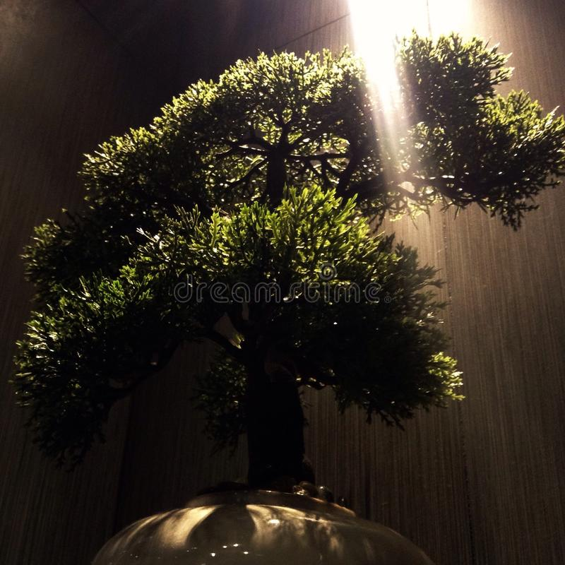 Arbre de bonsaïs avec le faisceau lumineux photo stock