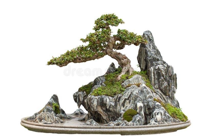 Arbre de bonsaïs, d'isolement sur le blanc photo libre de droits