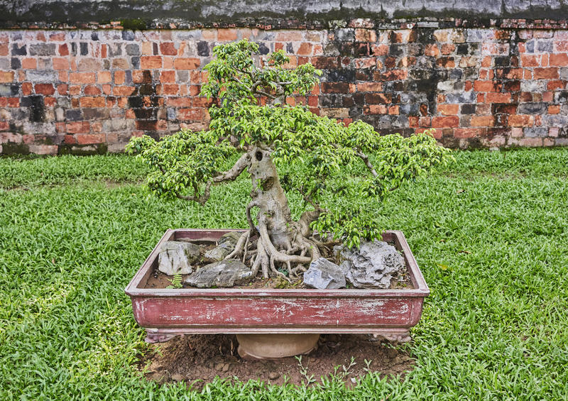Arbre de bonsaïs dans le pot dans un jardin asiatique photo stock