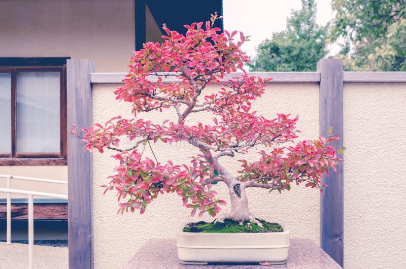 Arbre de bonsaïs du Myrte de crêpe photographie stock libre de droits
