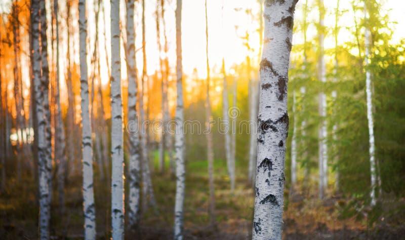 Arbre de bouleau au coucher du soleil photographie stock libre de droits