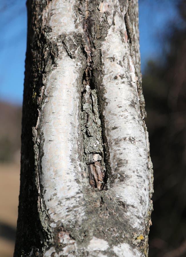 arbre de bouleau avec la fente dans le cortex avec la forme d'un femal images libres de droits