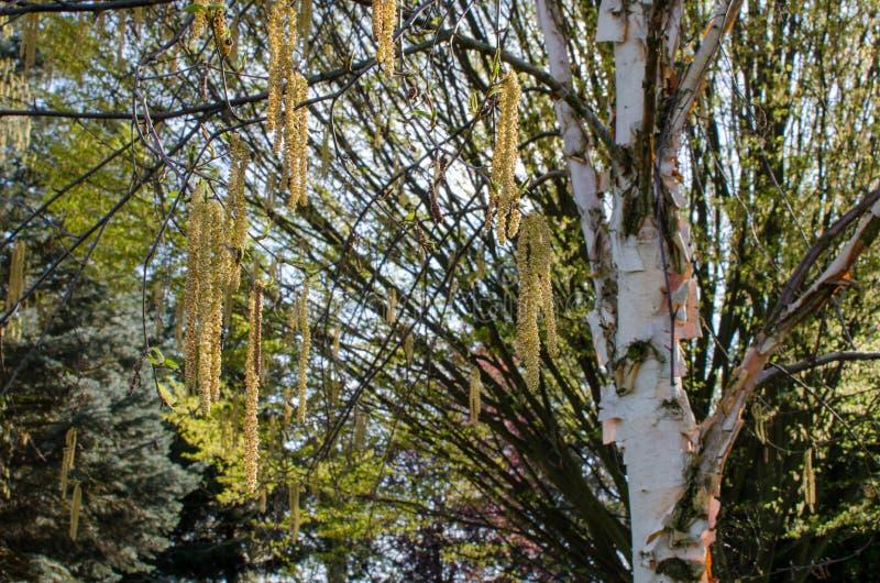 Arbre de bouleau blanc chinois - fascination d'albosinensis de b?tula images libres de droits