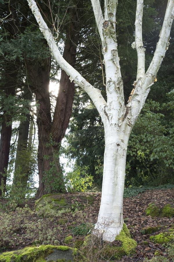Arbre de bouleau dans des jardins de Vandusen images libres de droits
