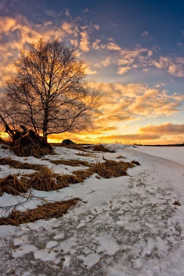 Arbre de bouleau dans le coucher du soleil image stock
