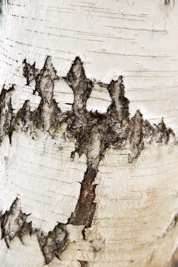 Arbre de bouleau naturel d'écorce Texture en bois pour la conception et la d?coration Blanc de couleur, lait Modèle avec les fiss images libres de droits