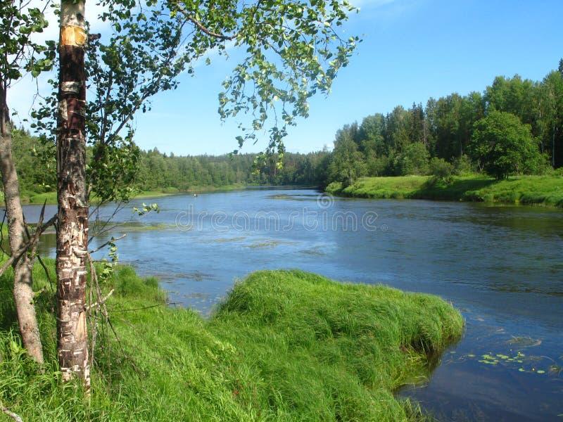 Arbre de bouleau sur la banque de la rivière dans le jour ensoleillé de fin de la matinée d'été photos libres de droits