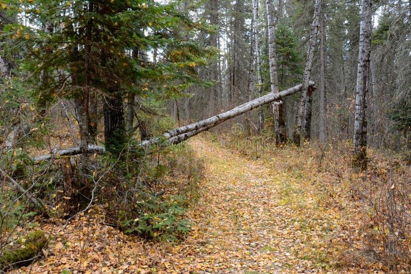 Arbre de bouleau tombé à travers une traînée dans la forêt au parc provincial de montagne de canard, Manitoba photo stock