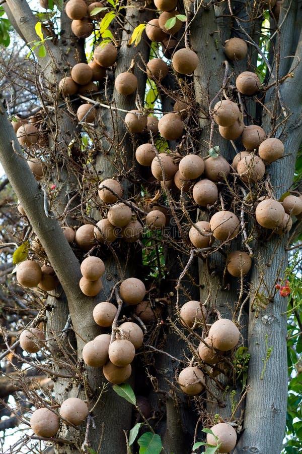 arbre de boulet de canon photo stock