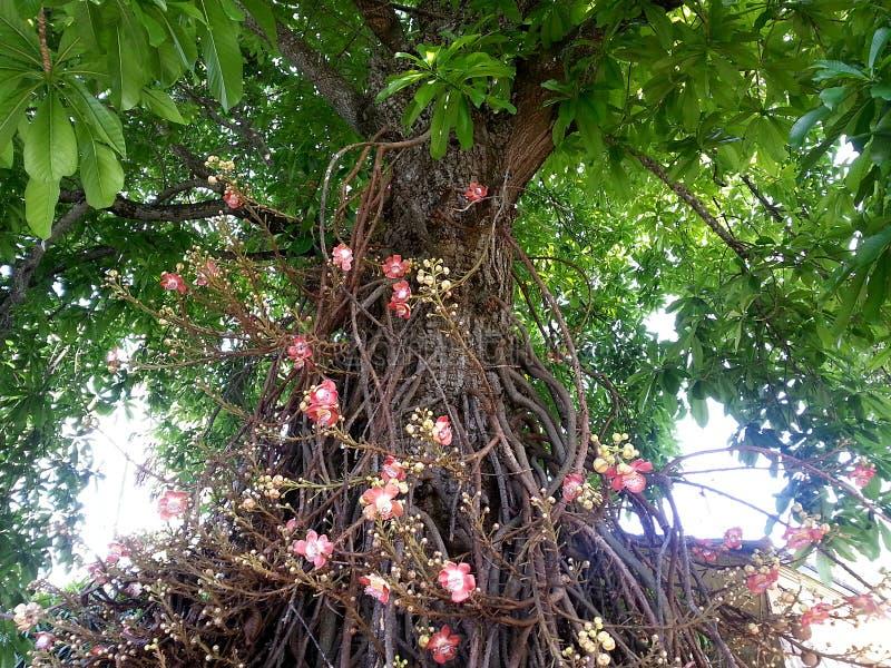 Arbre de boulet de canon avec les fleurs, les feuilles, et le tronc multiples photos libres de droits