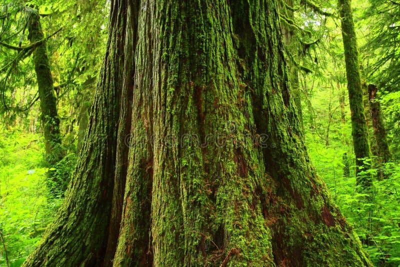 Arbre de cèdre de forêt du nord-ouest Pacifique et de rouge occidental image stock